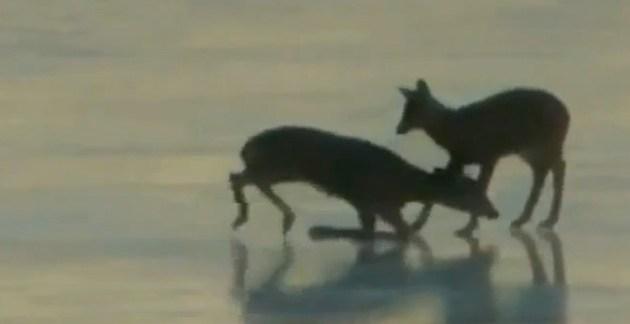 68e022659867147b29bcb43e75ab56d8 - #Video Un helicóptero salva a un ciervo con el aire de sus palas como un efecto ventilador