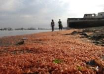 7b33029c2d8f828271a85cc689a9cd0b - #Video Miles de camarones muertos aparecen en una playa chilena