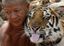 c63d7231fdd3fe9a1aa75e8690e209f6 - Jugar con tigres es un atractivo turístico en Tailandia