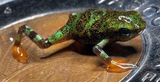 e3286d4b3c277d45a2b15daf7d5d9e4e - Científicos logran conservar ranas en peligro de extinción que caben en una moneda