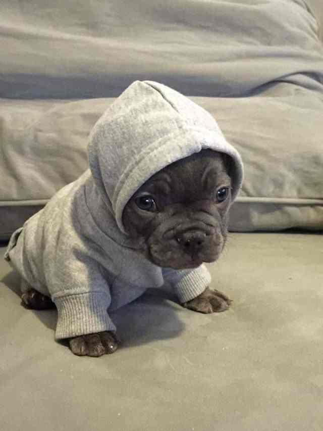 Adorable cachorro de Pitbull