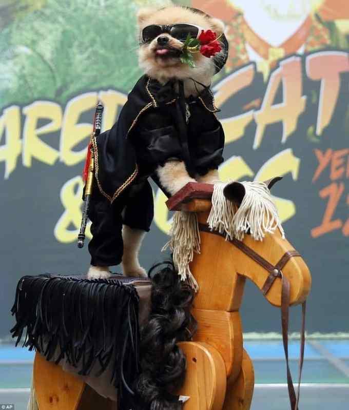 68e718b69d1550387168c2653d8cb65f - Perro Pomerania disfrazado del Zorro