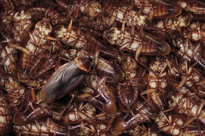 5d2806c2b58bf - El Súper alimento del futuro: La leche de Cucaracha