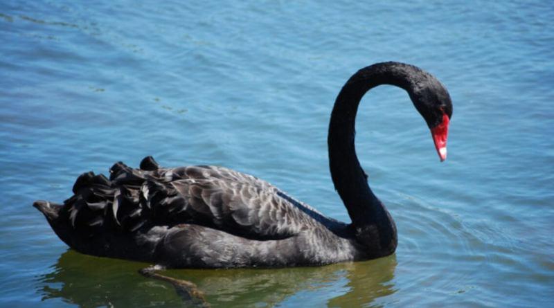 No se olvide de los Cisnes Negros