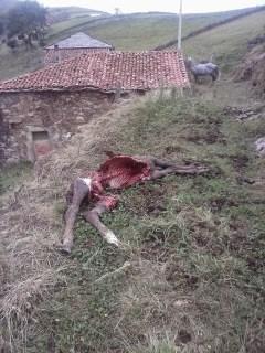 Denuncian nuevos ataques de lobo en Valdés. COAG pide que se pongan en marcha los controles poblacionales 4