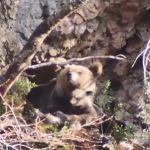 Vídeo: Primer avistamiento de osa con cría este año en el Parque Natural de Somiedo