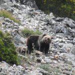 La población de osos se expande hacia el Noroccidente
