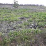 Repoblaciones forestales en montes de Ibias y Cangas del Narcea