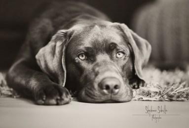 tagdrei-labradorretrieverchocolate1-383x260 Noticias de perros - Inicio