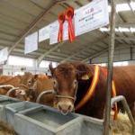Exposición ganado vacuno Salamanca 2018