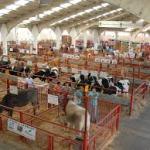 Novedosas subasta nacional de ganado vacuno en Salamanca 2020