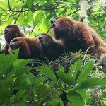 MACAÉ – Vírus da febre amarela aumenta risco de extinção do macaco bugio em Macaé