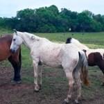 CABO FRIO – Secretaria de Agricultura e Abastecimento resgata mais de 30 cavalos ao longo de um mês de trabalho