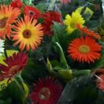 EVENTO – São Pedro da Aldeia recebe VIII Expo Flores de Holambra a partir desta sexta (24)