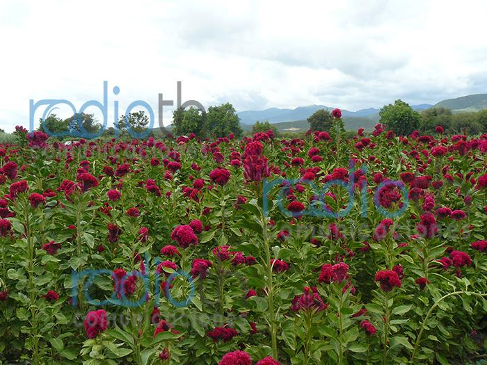 baja producción de flor