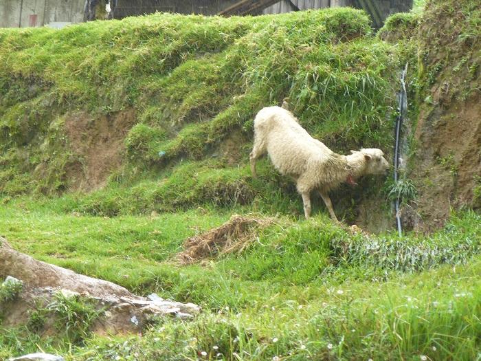 Continúa robo de ganado en comunidades de Vicente Guerrero