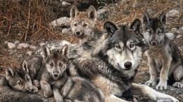 Cuatro nuevos Lobos Mexicanos en Chihuahua.