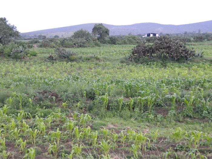 Favorecen lluvias cultivos de la región de Tehuacán