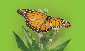 En peligro la migración de la Mariposa Monarca