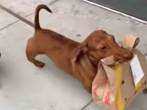 Perrito repartidor causa sensación en redes sociales