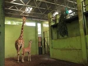 """Durante la pandemia nació """"Corona"""", una pequeña jirafa de Bali"""