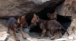 Nacen ocho cachorros de Lobo Gris en Saltillo, Coahuila