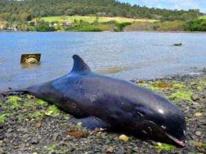 Mamá delfín muere al tratar de salvar a su bebé de un derrame de petróleo