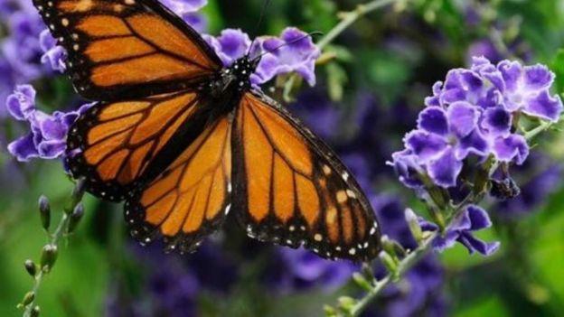 Miles de turistas visitan reservas de mariposa monarca en el Edomex