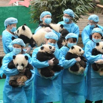 Crías de oso panda celebran el Año Nuevo Lunar en China