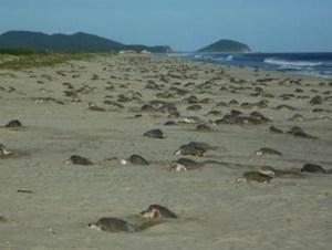 Arriban casi un millón de tortugas golfina a Morro Ayuta en Oaxaca (CONANP)