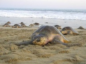 Arriban casi un millón de tortugas golfina a Morro Ayuta, Oaxaca (CONANP)