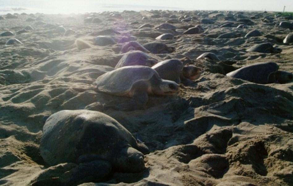 Arriban casi un millón de tortugas golfina a Oaxaca (CONANP)
