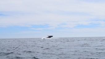 Captan a ballenato albino en BCS. (Profepa)
