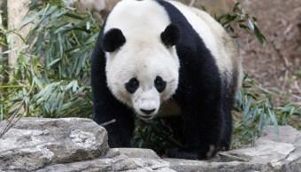 Bao Bao nació el 24 de agosto de 1993 en el Zoológico Nacional de Washington, en Estados Unidos.