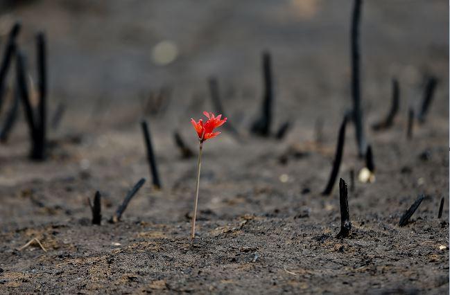 Una flor brota en medio de un paisaje arrasado por incendios forestales en la comunidad chilena de Cauquenes, (AP)