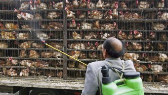 Un trabajador desinfecta decenas de pollos que son transportados a una fábrica de sacrificio en Xining de la provincia de Qinghai, China. (Getty Images/archivo)