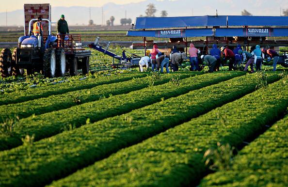 Los estados con mayor número de jornaleros agrícolas son California, Texas, Washington, Florida, Oregon y Carolina del Norte. (Getty images, archivo)