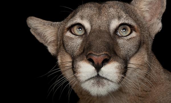 La pantera de Florida es una especie en grave peligro de extinción.