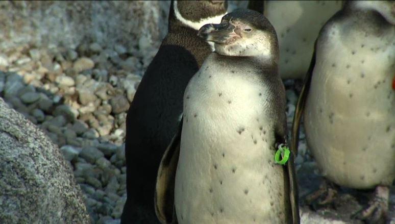 Un joven pingüino robado del zoológico de Mannheim fue hallado muerto, tras ser robado. (https://www.welt.de)