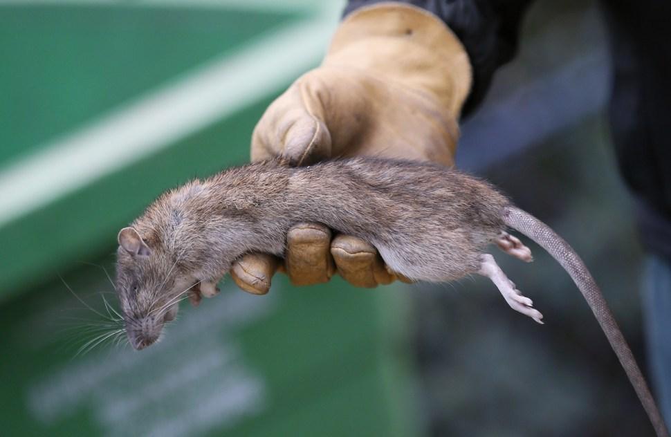 Un empleado de limpieza de París muestra a una rata muerta en el parque de la Torre Saint Jacques (AP/archivo)