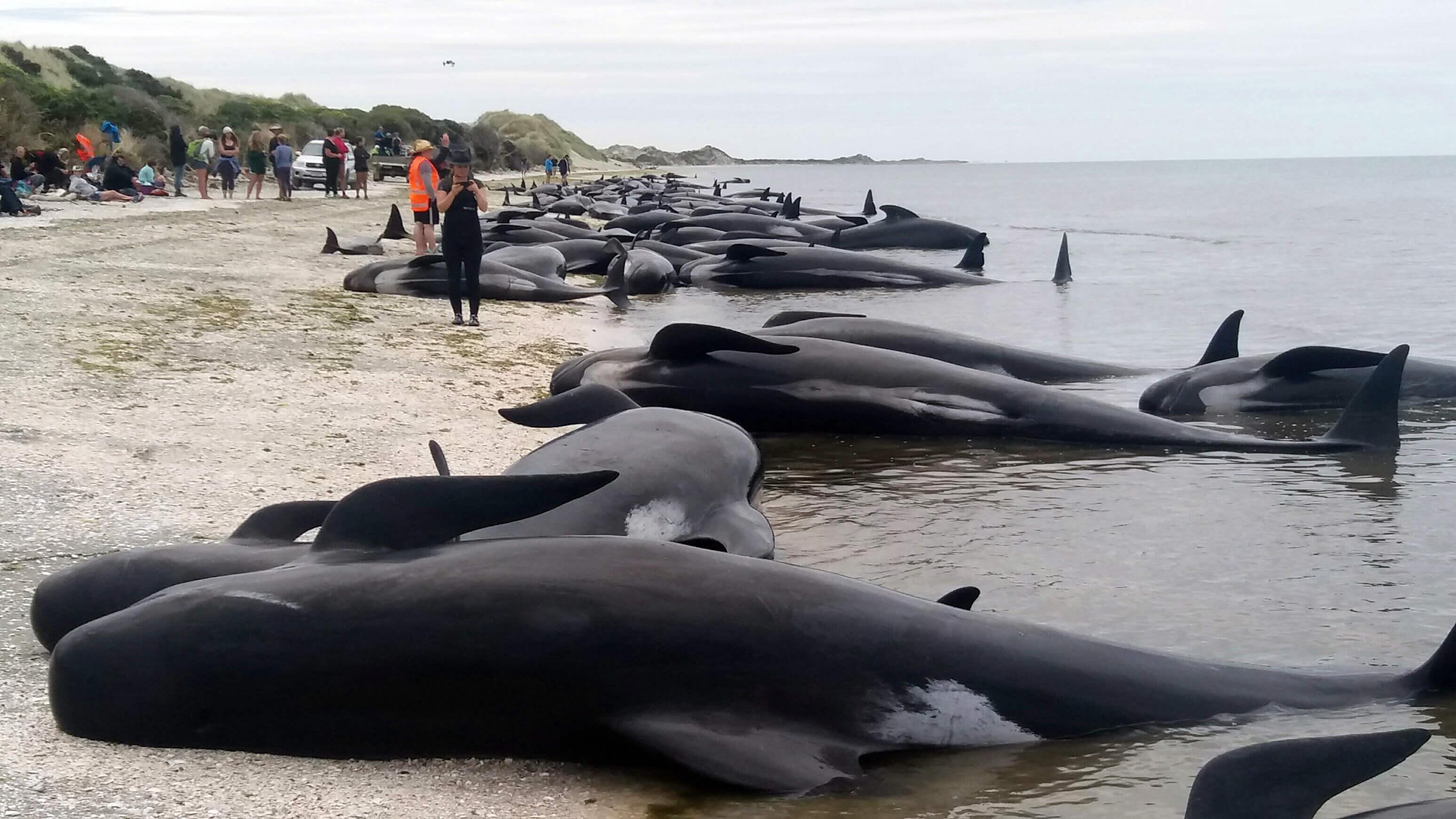 Aparecen más de 100 ballenas varadas en Nueva Zelanda