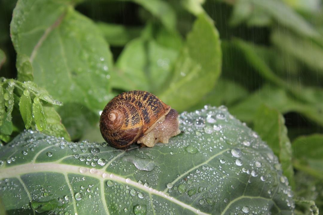Ejidatarios crían caracoles para extraerles la baba; la granja se ubica en Jocotitlán, Estado de México (gob.mx/conafor/prensa)