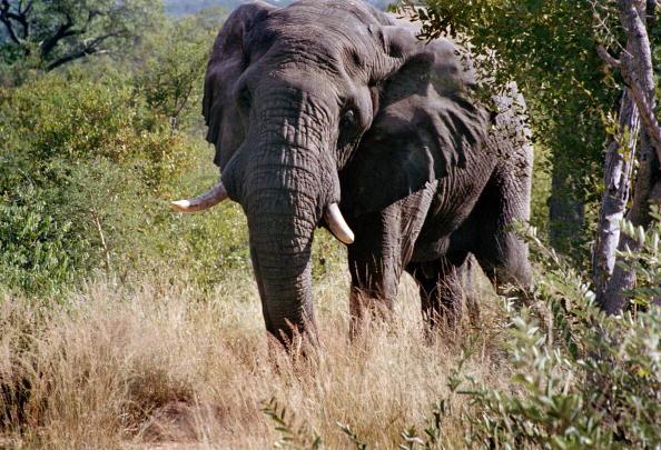 Un elefante asedia a un grupo de turistas en el Parque Nacional Kruger de Sudáfrica; una empleada de la reserva muere por un ataque de los paquidermos (Getty Images)