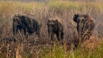 Elefantes salvajes permanecen en medio de la hierba mientras los aldeanos tratan de perseguirlos lejos de su pueblo. (AP/archivo)