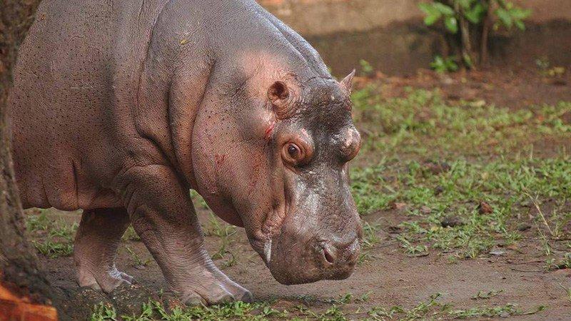 Gustavito era el único hipopótamo en El Salvador.