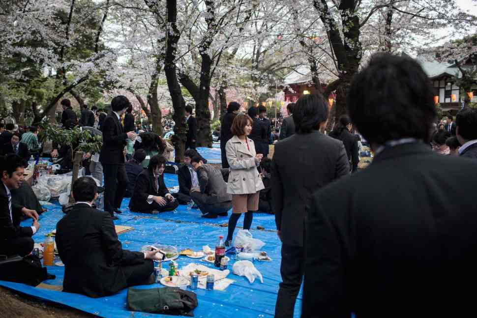 sakura, hanami, flores de cerezo, cerezos