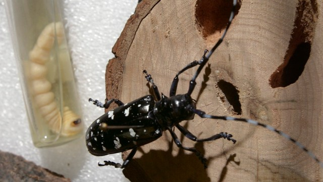 Insectos ayudan a resolver crímenes. (AP)