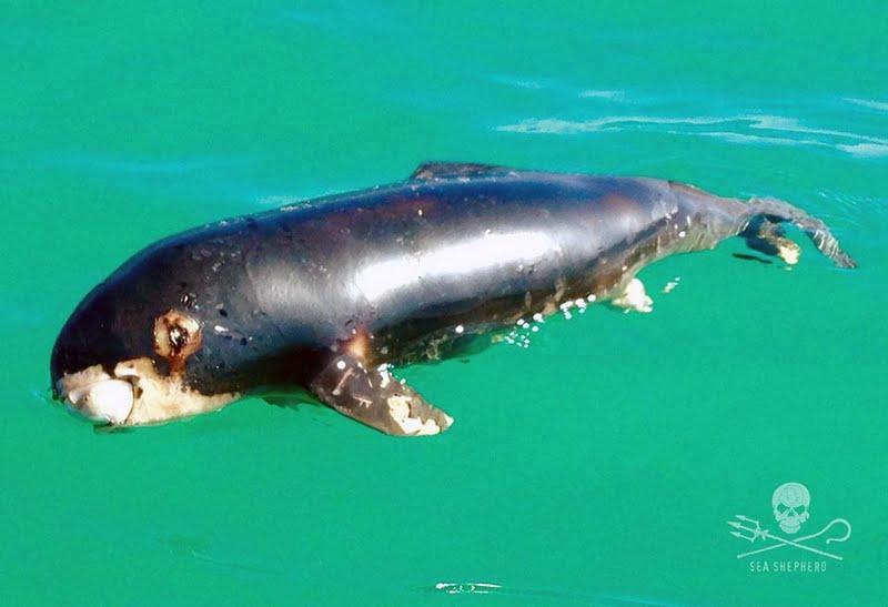 La vaquita marina no tiene valor comercial alguno, pero es víctima de la pesca ilegal de otros ejemplares, como la totoaba.