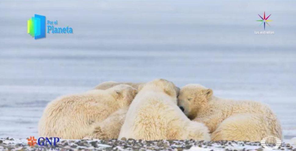 Los Gigantes de Alaska, tras buscar comida llegó la hora de la siesta. (Noticieros Televisa)