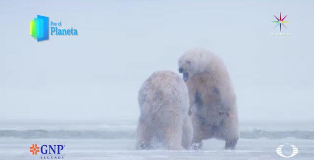 Los Gigantes de Alaska, la hembra de oso polar aleja a un macho de sus crías. (Noticieros Televisa)